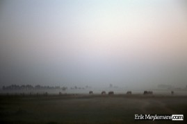 Cows in a foggy meadow
