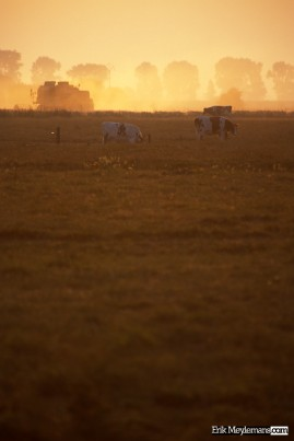 Cows at sunset and the farmer still at work
