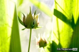 Flower heads