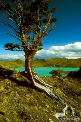 Nordenskjold tree