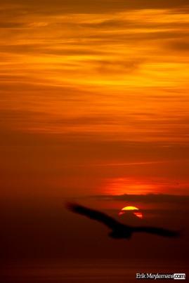 Condor at sunset