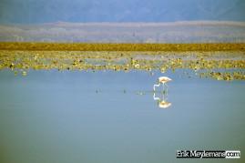 Flamingo in salt lake